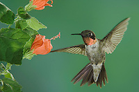 Ruby-throated Hummingbird, Archilochus colubris, male in flight feeding on Turk's Cap (Malvaviscus drummondii), New Braunfels, Texas, USA