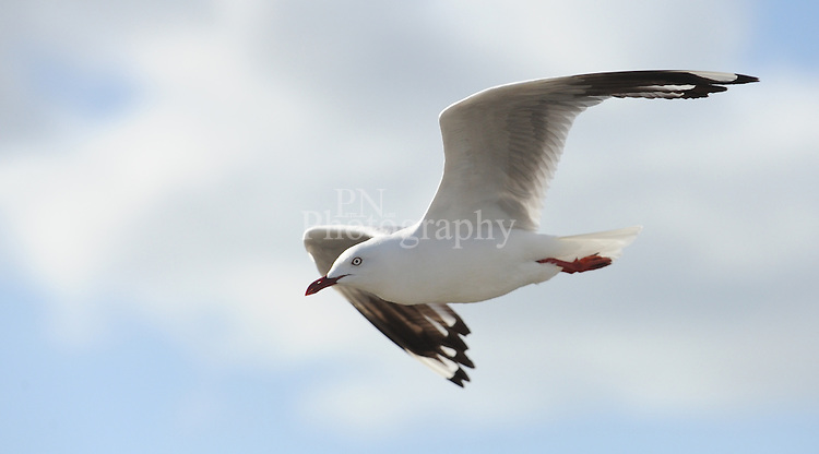 Day 3 Seagull caught in flight at American River early this morning gracefully gliding through the air