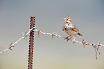Crested Lark, Galerida cristata, Lesvos,  Greece, perched on wire fence , lesbos