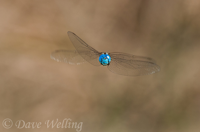339360036 a wild male blue-eyed darner rhionaeschna multicolor in flight over the fish slough area near bishop mono county california united states