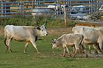 Ungarisches Steppenrind oder Ungarisches Graurind – im Ungarischen (Magyar) Szürkemarha oder auch Szilaj – bezeichnet man eine alte Hausrindrasse aus dem ungarischen Tiefland, die vom Aussterben bedroht ist. Apetlon, Nationalpark Neusiedlersee, Seewinkel, Bezirk Neusiedl am See, Burgenland, Austria, Österreich.