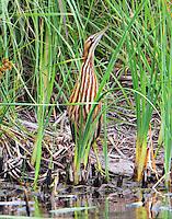 American bittern in classic bittern pose in reeds