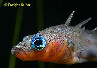 1S14-629z   Male Threespine Stickleback, Mating colors showing bright red belly and blue eyes, close-up of face, Gasterosteus aculeatus,  Hotel Lake British Columbia.