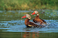 596880002 mated pair of black-bellied whistling-ducks dendrocygna autumnalis bathe together in a small pond in the rio grande valley of south texas