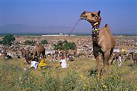 India, Rajasthan, Pushkar: Overview of Pushkar camel festival | Indien, Rajasthan, Pushkar: auf dem Camel Festival