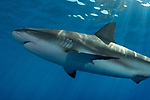 Caribbean Reef sharks at surface, Cuba Underwater, Jardines de la Reina, Carcharhinus perezii, reflections