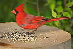 A Very Cute Common Red Bird, The Northern Cardinal Male, Feeding On Bird Seed, Cardinalis cardinalis