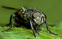 1H02-009z  House Fly - adult - Musca domestica