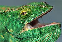 Parson's Giant Chameleon (Calumma parsonii), adult in defense pose, Madagascar, Africa