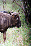 UMFOLOZI - 3 July 2007 - A wildebeest in South Africa's popular Umfolozi-Hluhluwe Game Reserve in northern KwaZulu-Natal..Picture: Giordano Stolley/Allied Picture Press