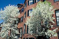 House with pear trees, Beacon Hill, Boston, MA Pinckney St.