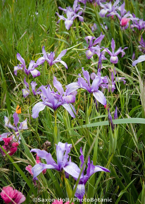 Iris douglassi wildflowers, in spring Meadow garden, Menzies California native plant garden