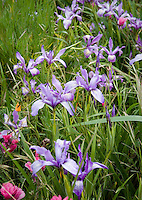Iris douglassi wildflowers, in spring Meadow garden, Menzies California native plant garden