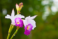 A close-up of wild orchid flowers and working ants in a tropical rainforest jungle, Hilo, Big Island.