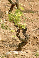In the vineyard Le Pavillon of M Chapoutier on the Hermitage hill, sandy and pebbly soil. An old Syrah vine.  Domaine M Chapoutier, Tain l'Hermitage, Drome Drôme, France Europe
