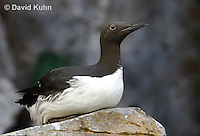 0727-1003  Common Murre (Common Guillemot), North American Seabird, Uria aalge  © David Kuhn/Dwight Kuhn Photography