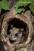 MA29-020z  Flying Squirrel - in a nest cavity - Glaucomys sabrinus