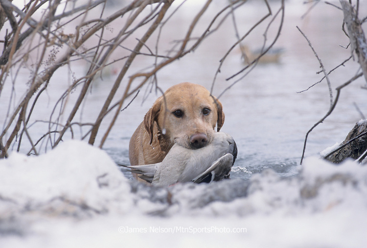 34-424. A yellow Labrador retriever brings a mallard to the blind during a hunt on the Snake River in Idaho.