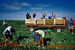 White farm workers harvest melons in Orania, Northern Cape province. Young men (and some girls) come from all over South Africa to work in this whites only community, earning 150 Euros a month working 6 and sometimes 7 days a week. (Photo by: Per-Anders Pettersson)