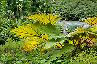 Rheum palmatum var. tanguticum Chinese Ornamental Rhubarb foliage leaves in Alaska Botanical Garden, Anchorage