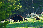 Two black bear cubs run to keep up with there mother in Yellowstone National Park June 5, 2011. Photo by Gus Curtis.