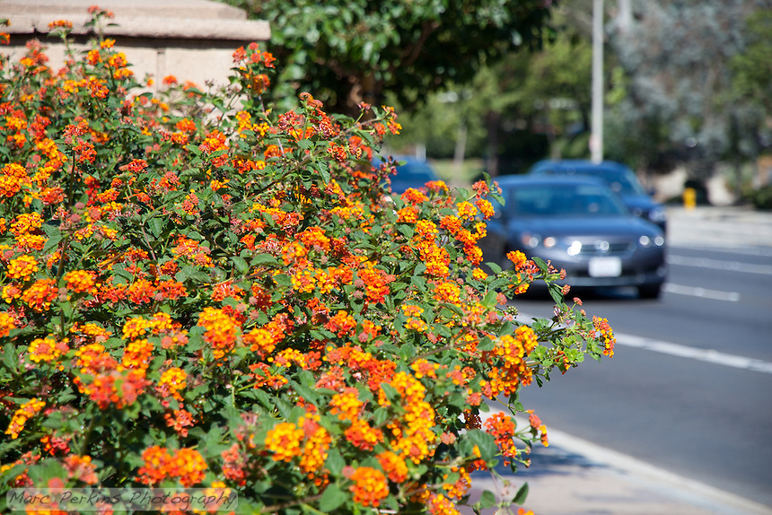 """Orange-flowering lantana is in focus in front of a street with cars on it that is out of focus. This was part of the 2015 rebuild of the Grand Avenue and Diamond Bar Boulevard intersection for Diamond Bar's 2015 """"Grand Avenue Beautification"""" project, landscape architecture for the project was by David Volz Design."""