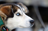 Breezy, a Billy Snodgrass  lead dog waits patiently priort to the ceremonial start day of the 2011 Iditarod in Anchorage, Alaska
