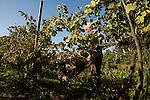 Venezia - Isola di Sant'Erasmo. Gastone Vio durante la vendemmia della Dorona.<br /> <br /> Venice - Isola di Sant'Erasmo. Gastone Vio, wine producer: Dorona grape harvest.