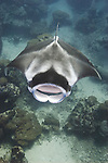 A Manta Ray, Manta birostris, cruises down a channel with mouth wide open, Goofnuw Channel, Valley of the Rays, Yap, Micronesia, Pacific Ocean