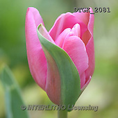 Gisela, FLOWERS, BLUMEN, FLORES, photos+++++,DTGK2081,#f# tulips