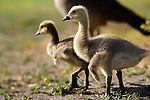 USA; California; Lakeside; San Diego; Canada Goslings in Lakeside looking at lot like baby dinosaurs