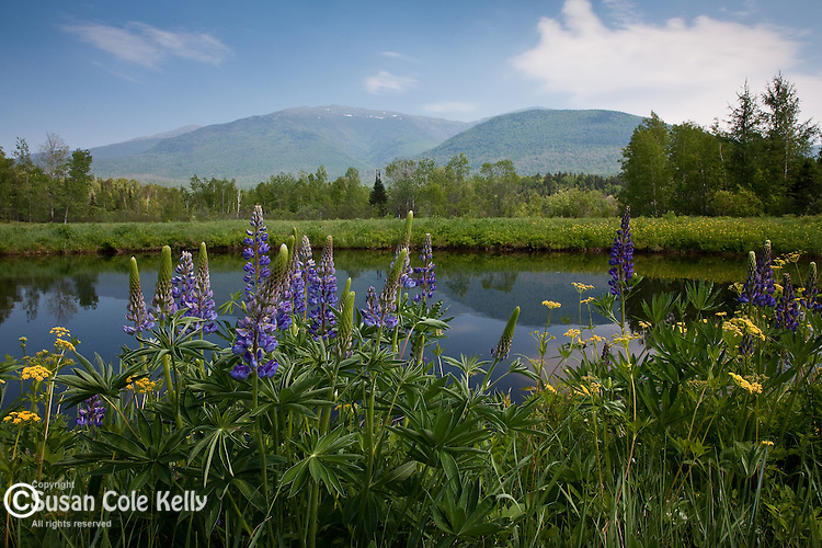 Wild Parsnip and lupines bloom in the White Mountain National Forest at Jafferson Notch in Randolph, NH, USA