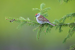 Chipping sparrow perched in a white spruce.
