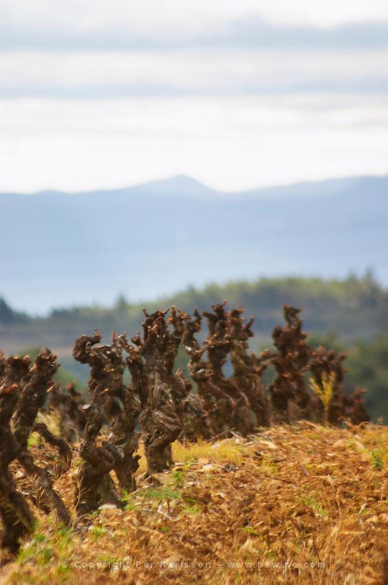 Chateau Villerambert-Julien near Caunes-Minervois. Minervois. Languedoc. Vines trained in Gobelet pruning. Terroir soil. France. Europe. Vineyard.