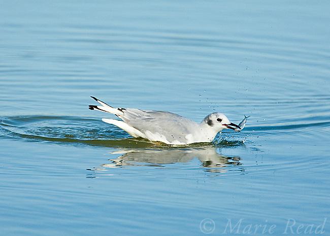 Bonaparte's Gull (Larus philadelphia), with a fish, East Harbor State Pk, Lake Erie, Ohio, USA