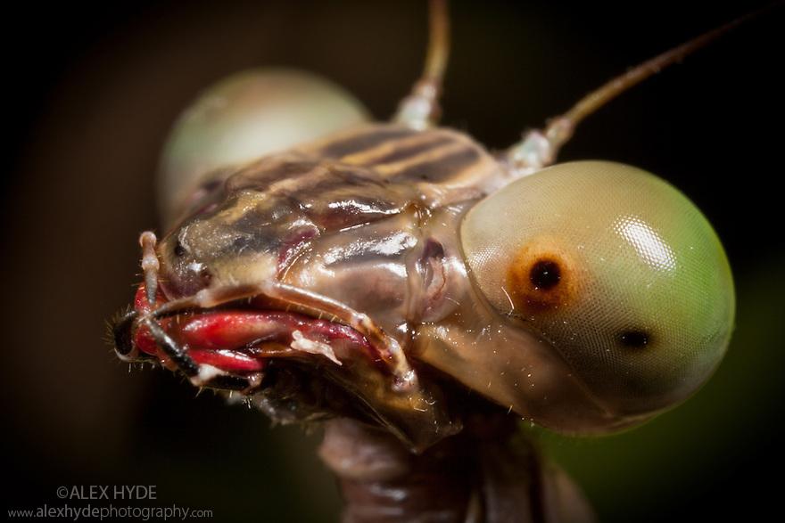 Praying mantis {Mantodea}, close-up of head. Masoala Peninsula National Park, north east Madagascar.