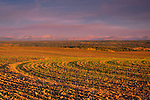 Idaho,East, Tetonia. Famlands with a new crop of winter wheat emerging under smoke filled skies against the Teton Mountains in autumn.
