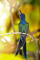 The Swallow-tailed Hummingbird ( Eupetomena macroura ) is a species in the hummingbird family ( Trochilidae ), found mainly in east-central South America. Rio de Janeiro Botanic Garden, Brazil. Portuguese names: Beija-Flor-Tesoura or Tesourao.