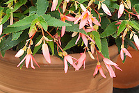 Begonia (Million Kisses) 'Allure'