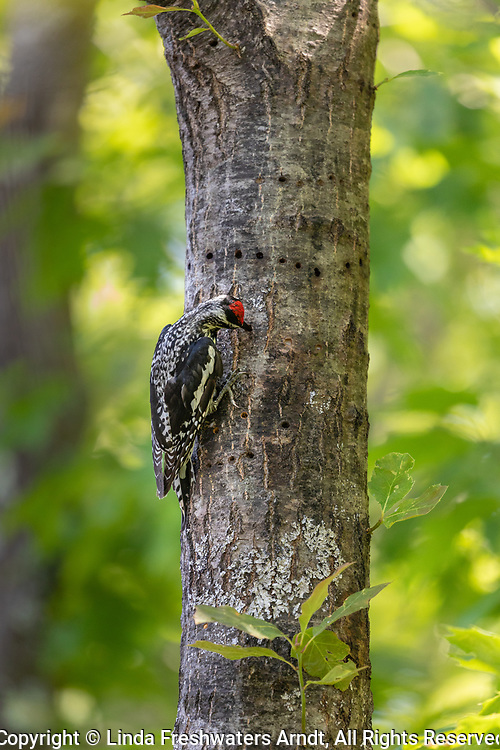 Female yellow-bellied sapsucker in northern Wisconsin.