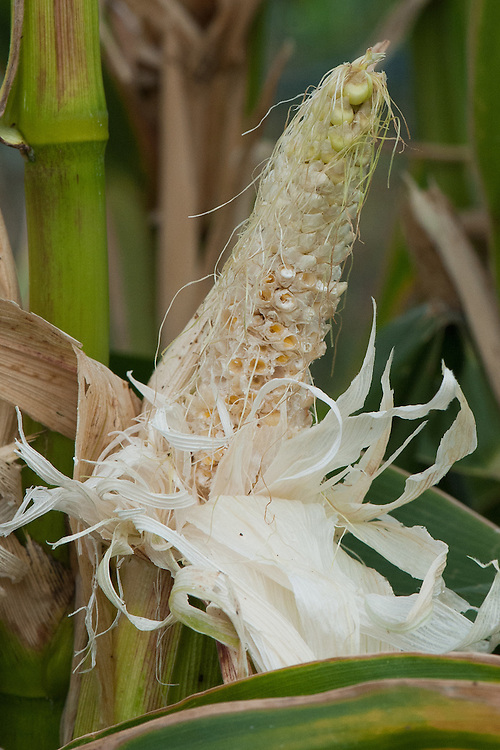 Sweetcorn cob eaten by birds or rodents, late August.