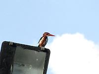 Kingfisher sitting on street lamp