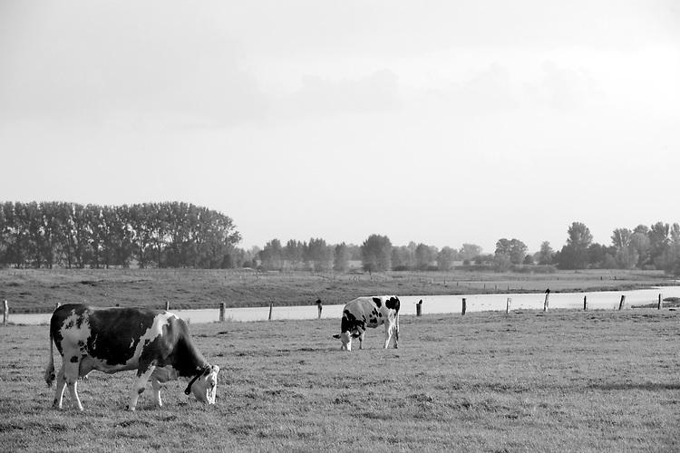 Europa, DEU, Deutschland, Nordrhein Westfalen, NRW, Rheinland, Niederrhein, Xanten, Landwirtschaft, Grasende Kuehe, Weidegang, Naturschutzgebiet Xantener Altrhein - Bislicher Insel, Eine niederrheinische Idylle im Spaetsommer. Glueckliche Kuehe grasen auf dem Gruenland im Naturschutzgebiet Xantener Altrhein auf der Bislicher Insel, in der Naehe bei  Xanten. Kuehe als Nutztiere in der Landwirtschaft sind wichtige Milch- und Fleischlieferanten., Kategorien und Themen, Landwirtschaft, Landwirtschaftlich, Agrar, Agrarwirtschaft, Erzeugung, Landwirtschaftliche Produkte, Natur, Naturfoto, Naturfotos, Naturfotografie, Naturphoto, Naturphotographie<br /> <br /> [Fuer die Nutzung gelten die jeweils gueltigen Allgemeinen Liefer-und Geschaeftsbedingungen. Nutzung nur gegen Verwendungsmeldung und Nachweis. Download der AGB unter http://www.image-box.com oder werden auf Anfrage zugesendet. Freigabe ist vorher erforderlich. Jede Nutzung des Fotos ist honorarpflichtig gemaess derzeit gueltiger MFM Liste - Kontakt, Uwe Schmid-Fotografie, Duisburg, Tel. (+49).2065.677997, archiv@image-box.com, www.image-box.com]