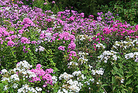 Phlox paniculata naturalized in wild in Pennsylvania