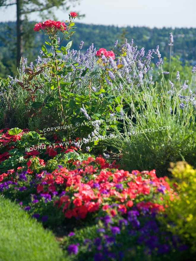 close up detail of a curved border of mixed annuals, perennials and shrubs including lavender, roses, spirea, million bells, and geraniums