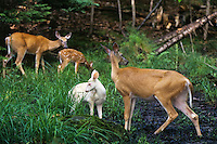 White-tailed Deer visiting a forest springs.  Doe in foreground has an albino fawn.  Michigan.  Summer.