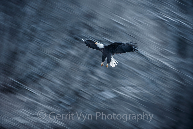Bald Eagle (Haliaeetus leucocephalus) landing in river side cottonwoods. Southeast, Alaska. December.