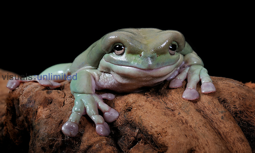 White's Tree Frog (Litoria caerulea), captive.