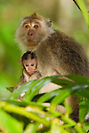 Long-tailed Macaque (Macaca fascicularis) mother nursing young, Tawau Hills Park, Sabah, Borneo, Malaysia