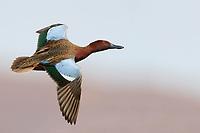 Cinnamon Teal (Anas cyanoptera septentrionalium), male in flight at the Henderson Bird Viewing Preserve in Henderson, Nevada.